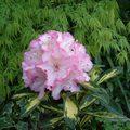 シャクナゲ 花かがり