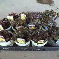 3月 ヒカゲツツジセット 4寸鉢